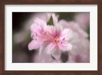 Pink Azaleas Fine Art Print
