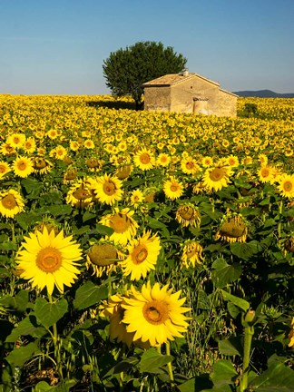Framed France, Provence, Old Farm House In Field Of Sunflowers Print