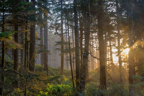 Framed Sunset Rays Penetrate The Forest In The Siuslaw National Forest Print