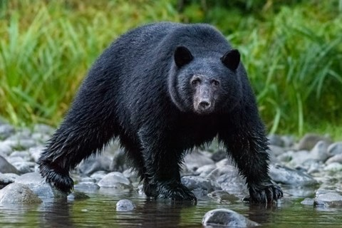 Framed British Columbia Black Bear Searches For Fish At Rivers Edge Print