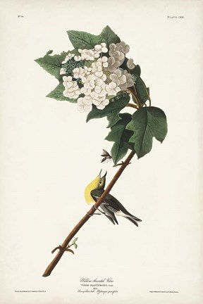 Framed Pl. 119 Yellow-throated Vireo Print