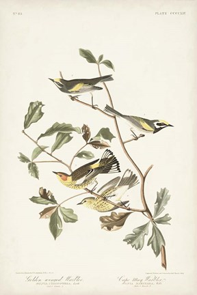 Framed Pl. 414 Golden-winged Warbler Print