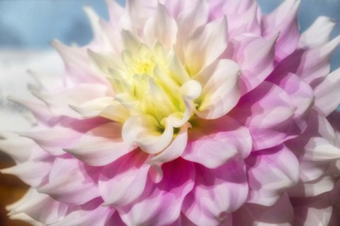Framed Pink And White Dahlia, Gitts Perfection Print