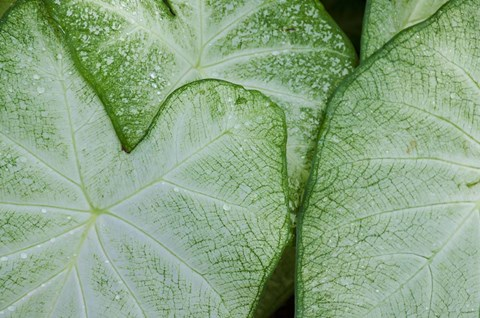 Framed Caladium Leaves Print