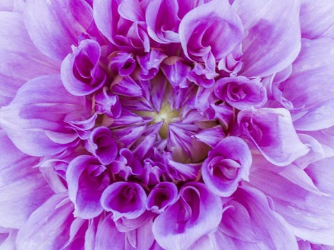 Framed Close-Up Of A Purple Dahlia Print