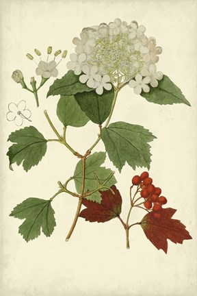 Framed Flowering Viburnum I Print