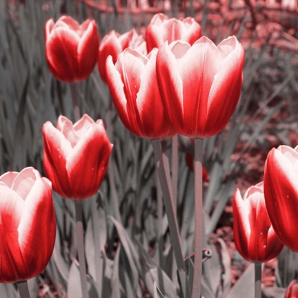 Framed Red Tulips II Print