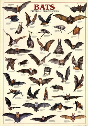 bats fine art print by unknown at fulcrumgallery com