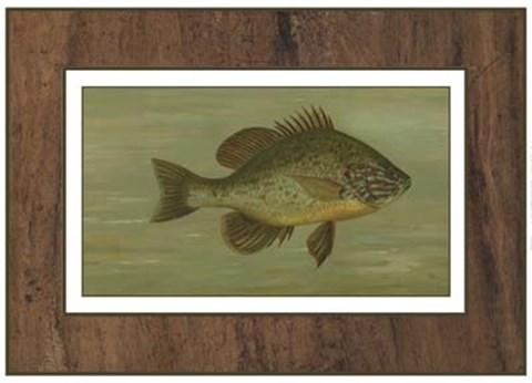Framed Common Sunfish Print