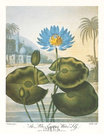 Framed Blue Egyptian Water-Lily Print