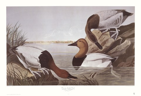 Framed Canvasback Duck Print
