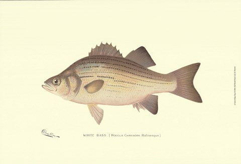 Framed White Bass Print