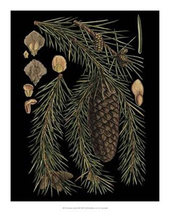 Framed Dramatic Conifers III Print
