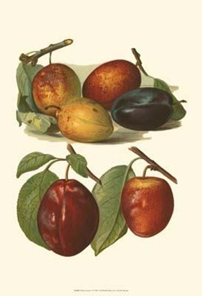 Framed Plum Varieties I Print