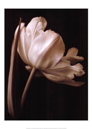 Champagne Tulip I by Charles Britt