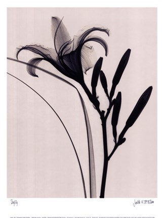 Framed Day Lily Print