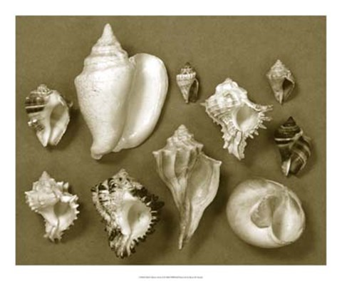 Framed Shell Collector Series II Print
