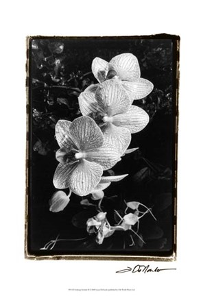 Framed Striking Orchids II Print