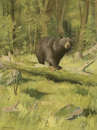 Black Bear Fine Art Print By Oliver Kemp At Fulcrumgallery Com