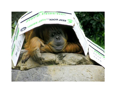 Framed Orangutan - Give me shelter Print