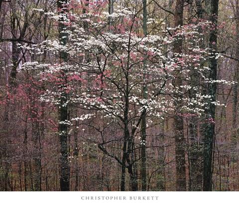 Christopher Burkett Pink And White Dogwoods Kentucky