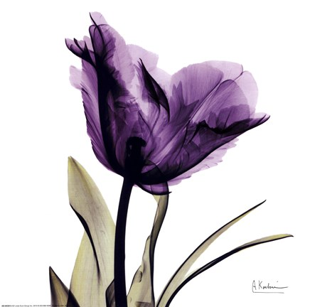 Framed X-ray Royal Purple Parrot Tulip Print