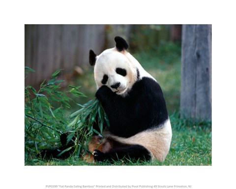 Fat Panda Eating Bamboo Fine Art Print By Unknown At
