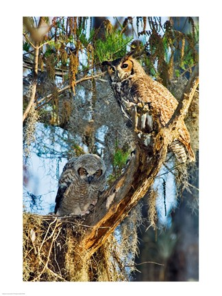Framed Two Great Horned Owls Print