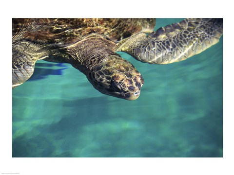 Framed Green Sea Turtle - close Print