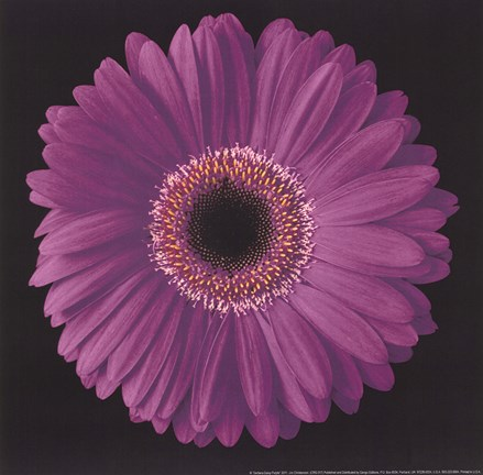 Framed Gerbera Daisy Purple Print