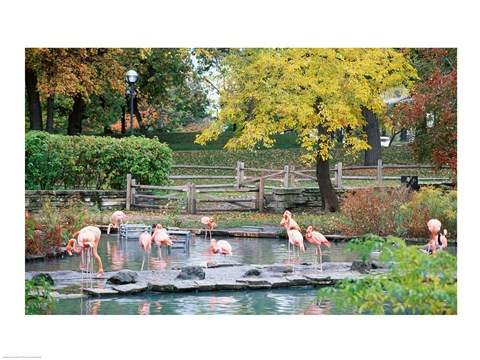 Framed Large group of flamingos wading in water Print