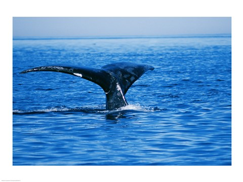 Framed Right Whale in the sea, Bay of Fundy, Canada Print