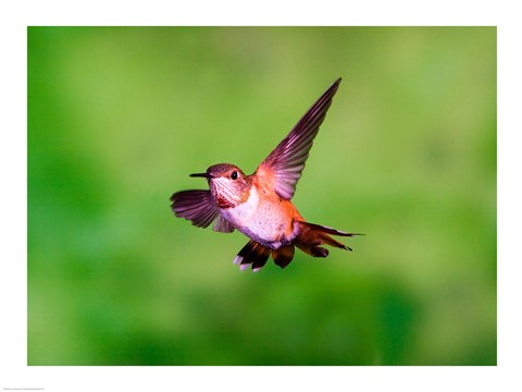 Framed Close-up of a Rufous hummingbird flying Print