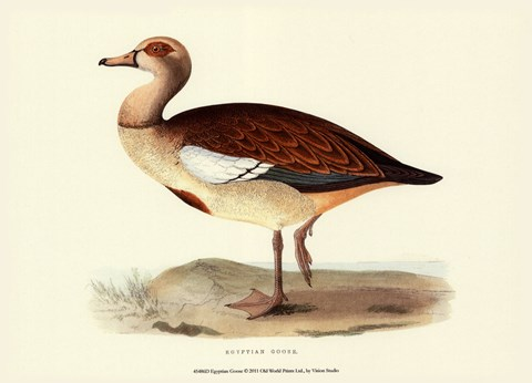 Framed Egyptian Goose Print