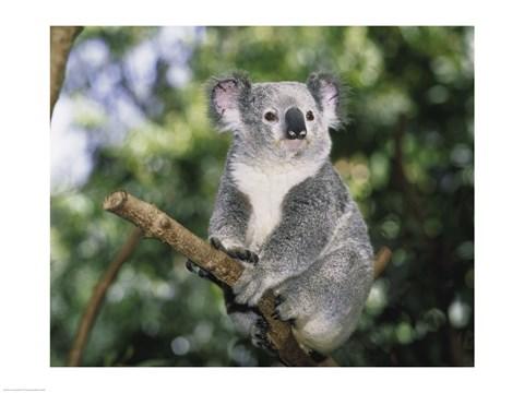 Koala On A Tree Branch Lone Pine Sanctuary Brisbane
