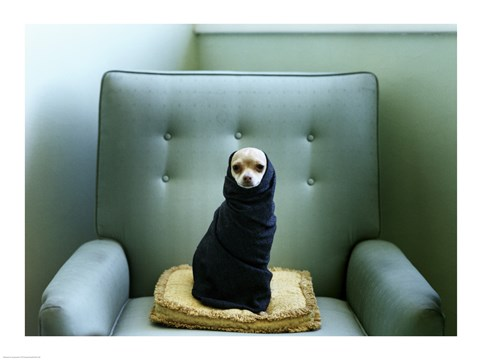 A Chihuahua Wrapped In A Blanket Sitting On A Couch Fine