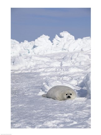 Framed Harp Seal pup basking in snow Print