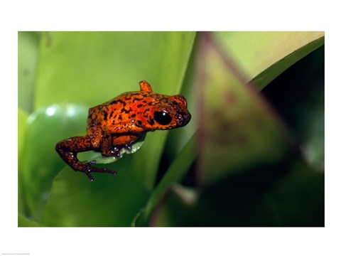 Framed Strawberry Poison small Frog Print