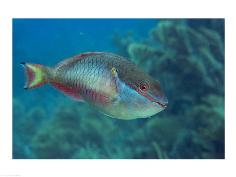 Framed Princess Parrotfish Print