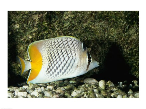Framed Pearlscale Butterflyfish Print