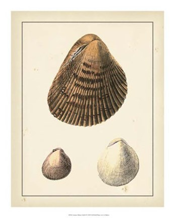 Framed Antique Diderot Shells II Print