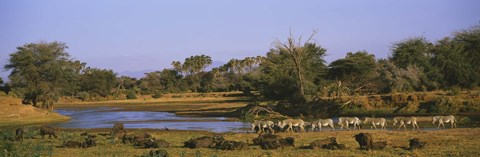 Framed Herd of Zebra (Equus grevyi) and African Buffalo (Syncerus caffer) in a field, Uaso Nyrio River, Samburu, Kenya Print
