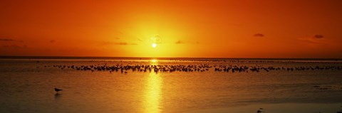 Framed Flock of seagulls on the beach at sunset, South Padre Island, Texas, USA Print