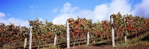 Framed Vines in a vineyard, Napa Valley, Wine Country, California, USA Print