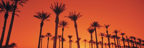 Framed Silhouette of date palm trees in a row, Phoenix, Arizona, USA Print