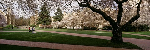 Framed Cherry trees in the quad of a university, University of Washington, Seattle, Washington State Print