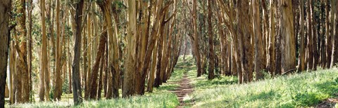 Framed Walkway passing through a forest, The Presidio, San Francisco, California, USA Print