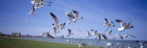 Framed Flock of seagulls flying on the beach, New York State, USA Print