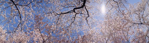 Framed Low angle view of Cherry Blossom trees, Washington DC, USA Print