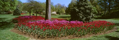 Framed Azalea and Tulip Flowers in a park, Sherwood Gardens, Baltimore, Maryland, USA Print